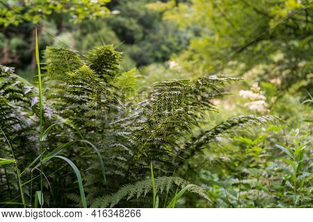 Fern And Other Plants Form A Small Jungle-like Thicket In The Alstertal, Poppenbüttel, Hamburg.