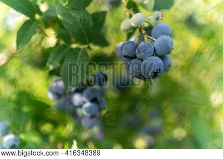 Ripe Blueberries In The Garden On A Shrub.