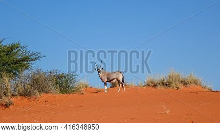Oryx Antelope (oryx Gazella) Standing Against A Blue Sky In The Namib Desert In Namibia, Africa.