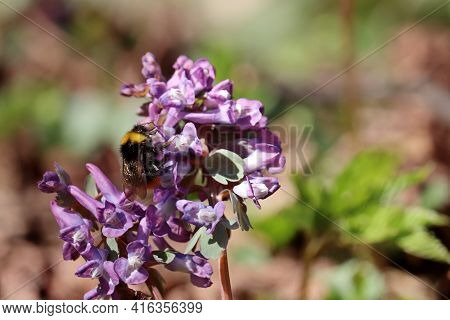 Bumblebee Collects Pollen And Nectar On First Spring Flowers In A Forest. Fumewort, Corydalis Solida