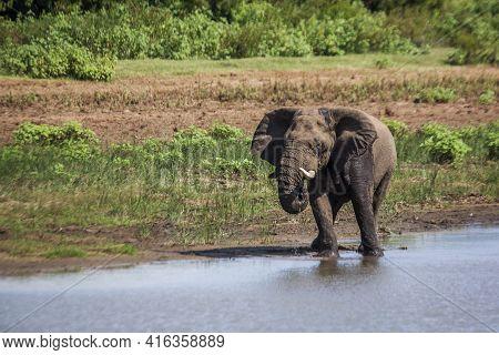African Bush Elephant Drinking In A Lake In Kruger National Park, South Africa ; Specie Loxodonta Af