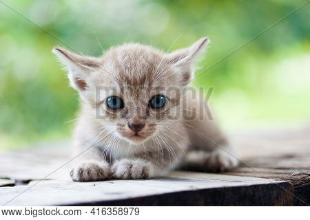 Pretty Cat Kitten