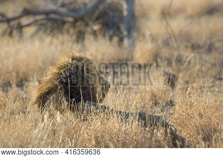 Majestic African Lion Male Black Mane Lying Down In Grass In Kruger National Park, South Africa ; Sp