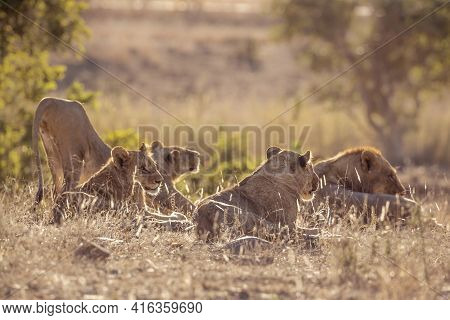 Pride Of African Lions Waking Up In Kruger National Park, South Africa ; Specie Panthera Leo Family