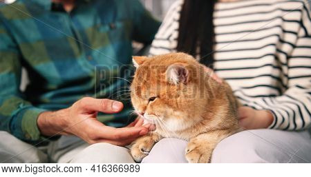 Close Up Of Fluffy Lovely Cat Indoor In Male And Female Hands. Man And Woman Stroking Cat, Pet Anima