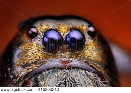 Close Up View Of Hyllus Diardy Jumping Spider