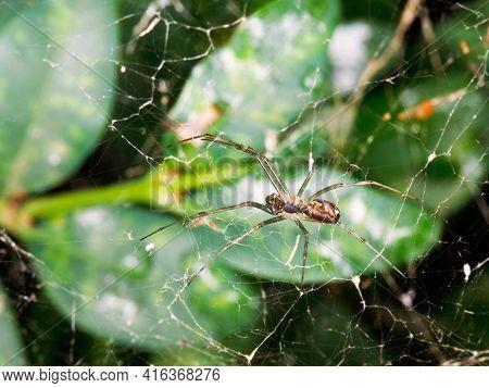 Spider On Cobweb Between Boxwood Leaves