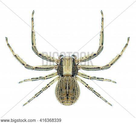 Spider Xysticus Striatipes (female)