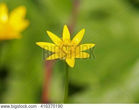 Yellow Flower Of Lesser Celandine Or Pilewort Plant, Ficaria Verna Or Ranunculus Ficaria