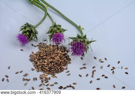 Dietary Supplement - Granular And Fresh Thistle With Flowers (silybum Marianum, Scotch Thistle, Mari