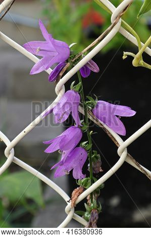 Creeping Bellflower And Invasive Weed On A Fence
