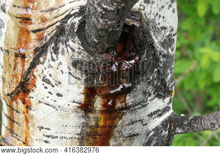 Closeup Of An Trembling Aspen Weeping Sap In Spring From A Wound