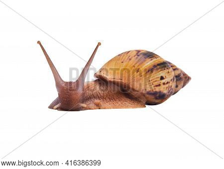 Crawling Live Snail Achatina Isolated On White Background, Looking At The Camera