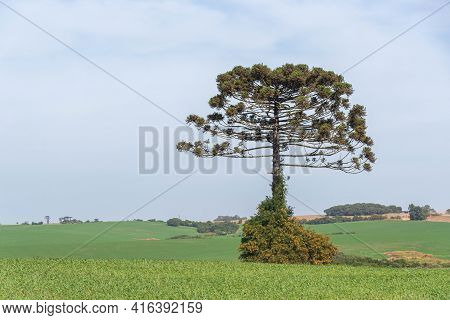 Araucaria Angustifolia Tree Isolated On Pasture Field