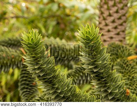 Evergreen Araucaria Branches Against A Fuzzy Background. They Belong To The Conifers. Copy Space