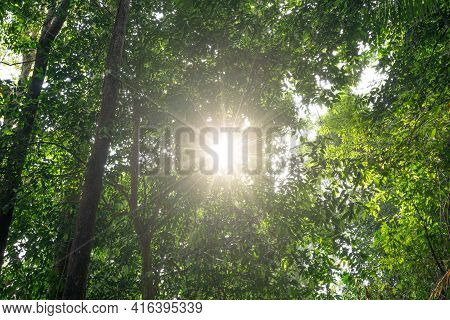 Low Angle Shot Of Big Trees In The Rainforest Morning Sun Light Forest Trees. Shining Sun Light Trav