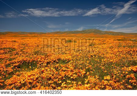 California Golden Poppies In The Southern California High Desert Poppy Preserve