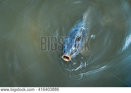 A Big Fish Sticking Its Mouth Out Of The Water In A Dirty Lake.