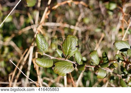 Simple Alternate Distally Broad Rounded Proximally Narrow Rounded Leaves Of Western Mountain Mahogan