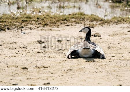 A Goose Lies In The Sand Next To The Lake. Spread Wings In The Sun. Seen From Behind, Head To The Le