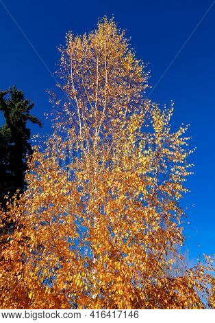 Tall And Golden - An Autumn Aspen Scene On A Sunny October Day - Bend, Or
