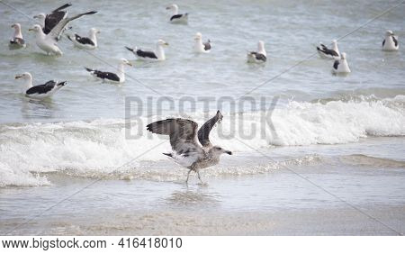 Seagull , Seagull Birds Flying, Seagull Birds In Water, Close Up View Of Young Seagull, Beach Agains