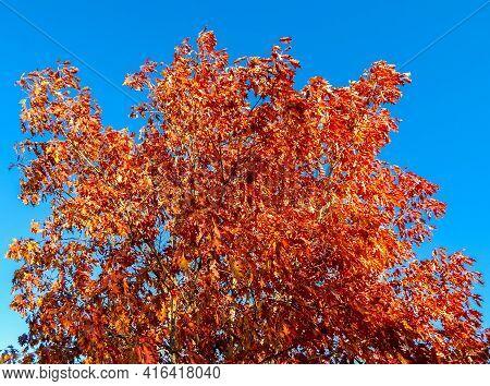 Redmond Red - An Oak Tree In October - Dry Canyon - Redmond, Or