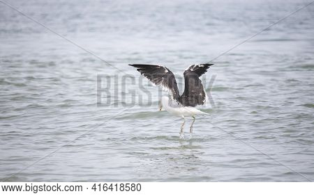 Seagulls, Seagull Birds In Water, Seagulls Diving For Clams, Close Up View Of White Birds, Natural B