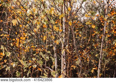 Young Birch Trees In Autumn .branches Of Young Birch Trees With Yellow Leaves. Autumn Warm Backgroun