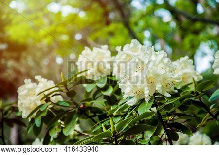 Beautiful Blooming Flowering Shrubs In The Genus Rhododendron. White Flower Background