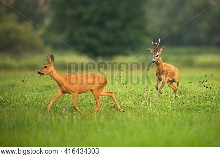 Roe Deer Buck Chasing Doe On Meadow In Summer Rutting Season