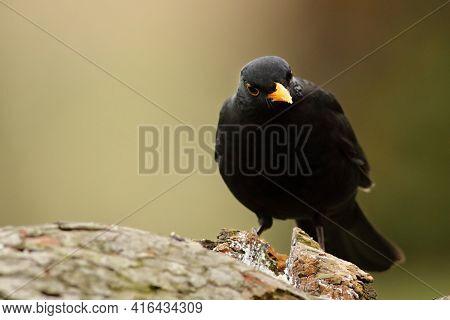 The Common Blackbird (turdus Merula) Male Sitiing On The Brown Old Branche. The Common Blackbird Loo