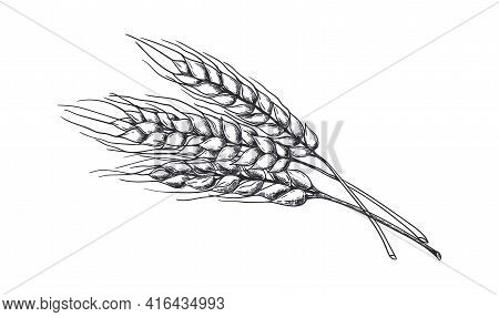 Hand Drawn Wheat. Realistic Wheat Ear. Black And White Sketch Of Agricultural Plant. Barley And Rye