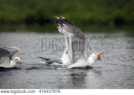 The Lesser Black-backed Gull (larus Fuscus) On The Surface Of The Pond With Open Beak. A Large Seagu
