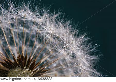 Dandelion Silhouette Fluffy Flower On Sunset Sky. Seed Macro Closeup.