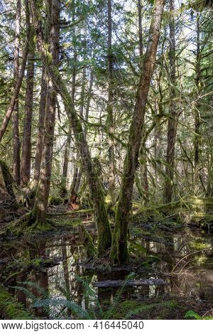 A Small Pond In The Lush Green Of The Hoh Rainforest In Olympic National Park.