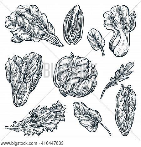 Green Leaf Vegetables Set, Hand Drawn Isolated Design Elements. Salad Plants, Sketch Vector Illustra
