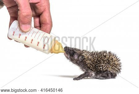 Helping human hand give food with a feeding bottle a Young European hedgehog, isolated
