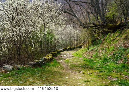 Idyllic Spring Landscape With Trees With White Flowers And Path To The Forest With Trees With Huge B