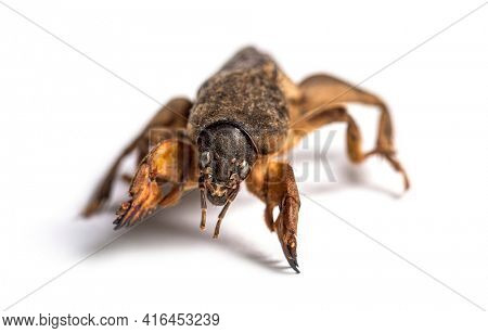 Dead European mole cricket, isolated