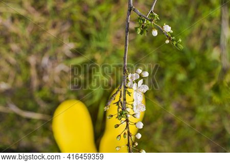 Woman In Yellow Boots In The Garden. Focus On Flowering Tree Branches. Shoes, Watering Can And Spatu