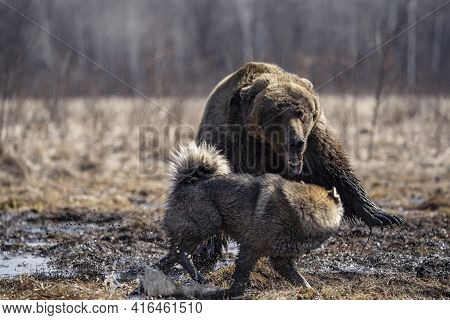 Bear And Dog . The Dog Attacks And Bites The Bear