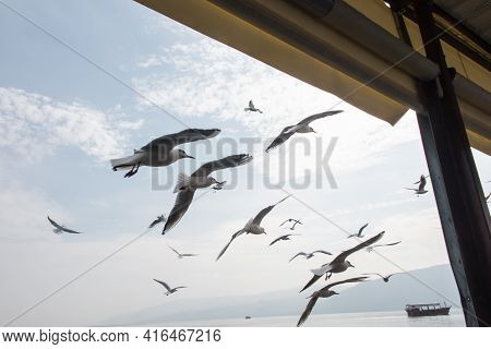 Gulls Over The Waters Of The Tiber Lake In Galilee, Israel