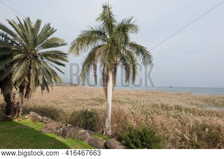 Lush Vegetation, Green During The Rainy Season On The Shores Of The Sea Of Galilee In Israel