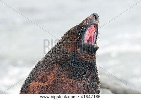 Fur Seal Voicing Its Opinion