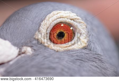 Unique, Gorgeous And Colorful Pigeon Eye. Wild Pigeon. Orange Eye.