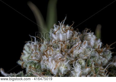 Detail Of A White Widow Cannabis Plant Blooming Isolated On Black. Born From A Feminized Seed.