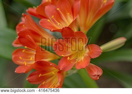 Red-orange Blooming Clivia Miniata Flower In Botanical Garden