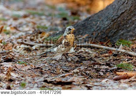 The Fieldfare, Turdus Pilaris. Large Species Of Thrush With White Abdomen, Brown Back, Orange Beak A