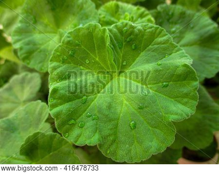 A Green Leaf Of Pelargonium In The Middle In The Foreground Is Large With Water Droplets On A Blurre